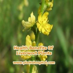 Liverwort-Plants