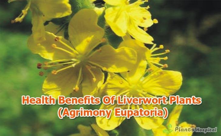 benefits-of-Liverwort