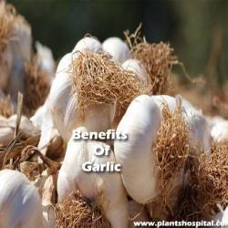 benefits-of-garlic