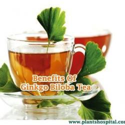 ginkgo-biloba-tea
