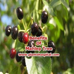 mahlep-tree