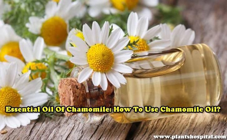 Essential oil-of-chamomile