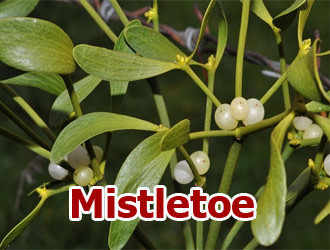 King Of Plant Health Benefits Of Mistletoe