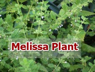 melissa-plant