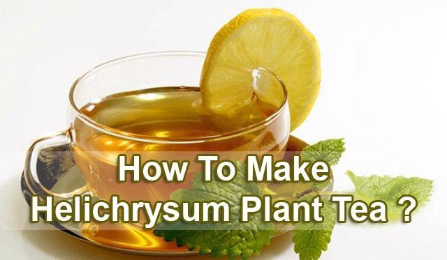 helichrysum-plant-tea
