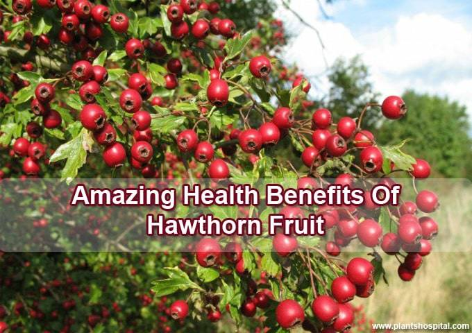 Hawthorn_Fruit