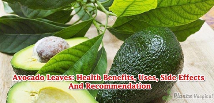 benefits-of-avocado-leaves