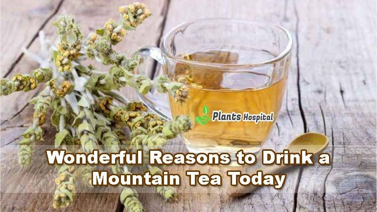 mountain-tea