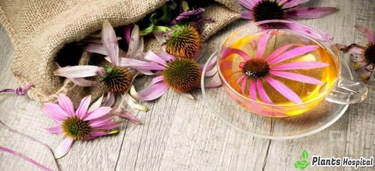Echinacea-benefits