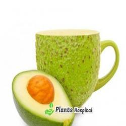 avocado leaf tea