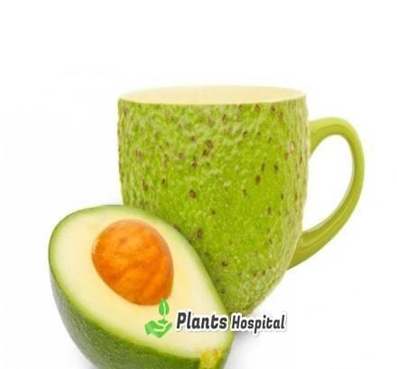 Avocado Leaf Tea: Benefits, Uses, Side Effects And
