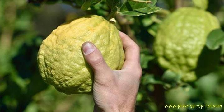 benefits-of-citron