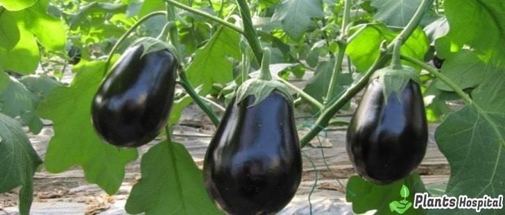 eggplant-stalks