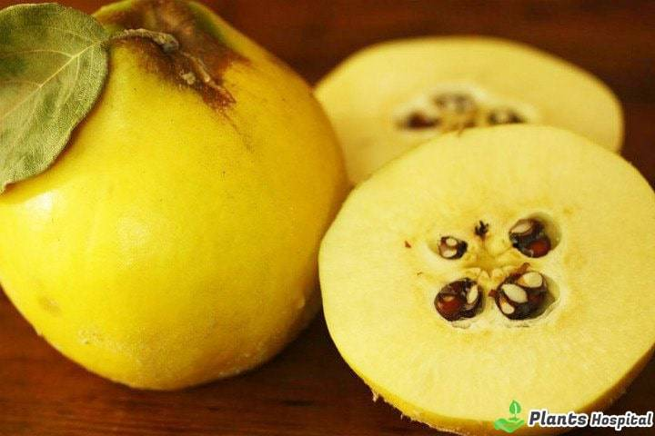 quince-seed