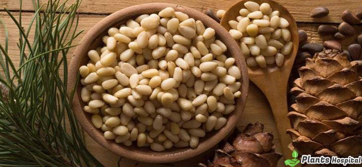 Pine-Nuts-benefits