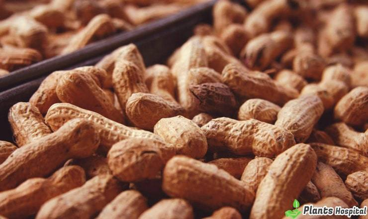 Top 17 Best Health Benefits Of Peanuts (Mungfali) & Pine Nuts
