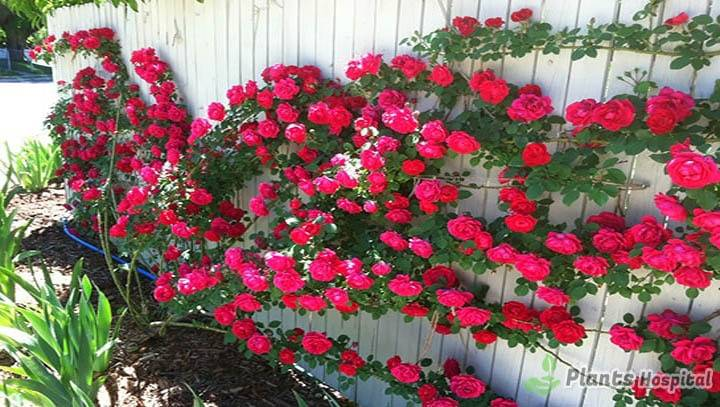 Care-and-Pruning-of-Ivy-Roses