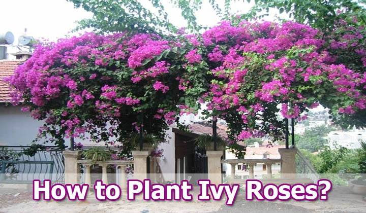 How-to-Plant Ivy-Roses
