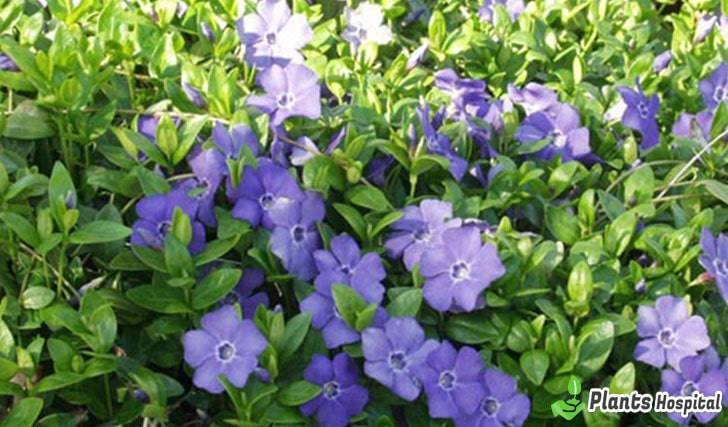 Periwinkle-benefits
