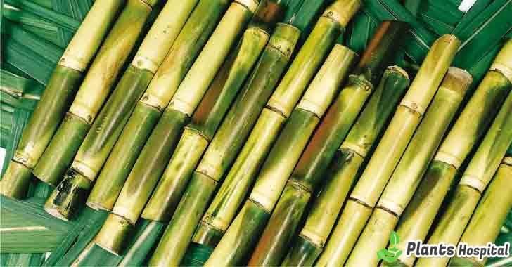 sugarcane-benefits