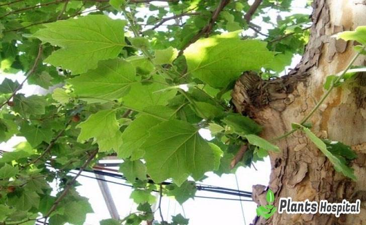 sycamore-leaf-benefits