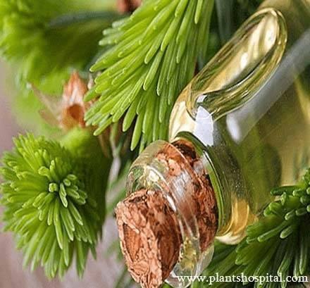 fir-needle-essential-oil