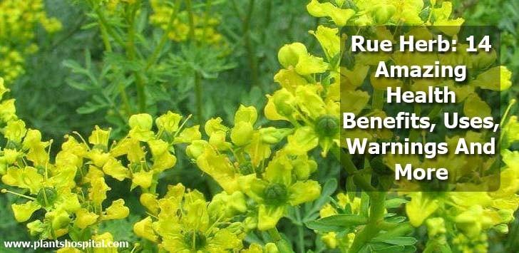 rue-herb-benefits