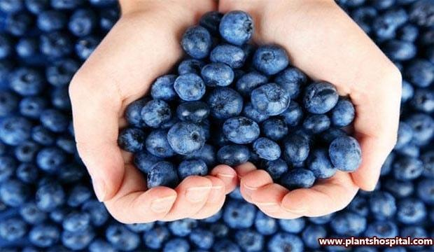 Blueberries-for-brain-health