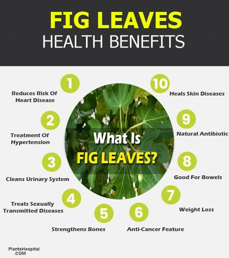 fig-leaves-infographic