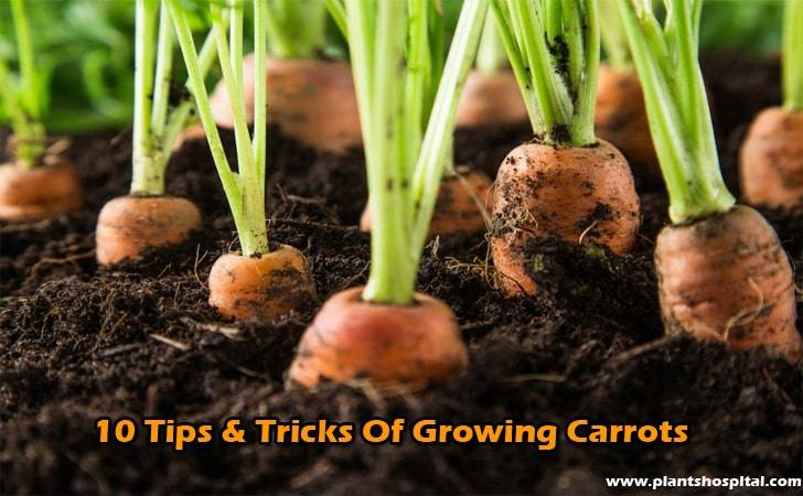 10-tips-&-tricks-of-growing-carrots