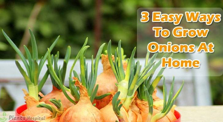 3-easy-ways-to-grow-onions-at-home
