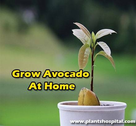 Grow-avocado-at-home