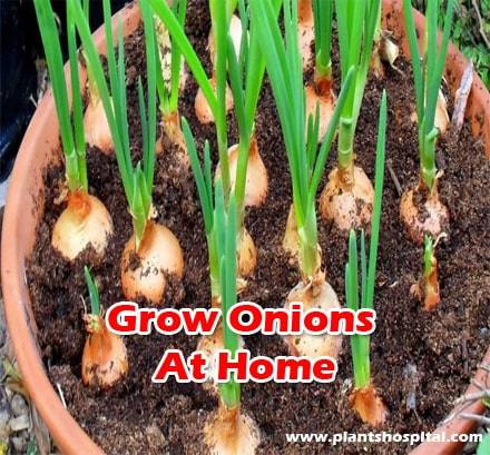 Grow-onions-at-home