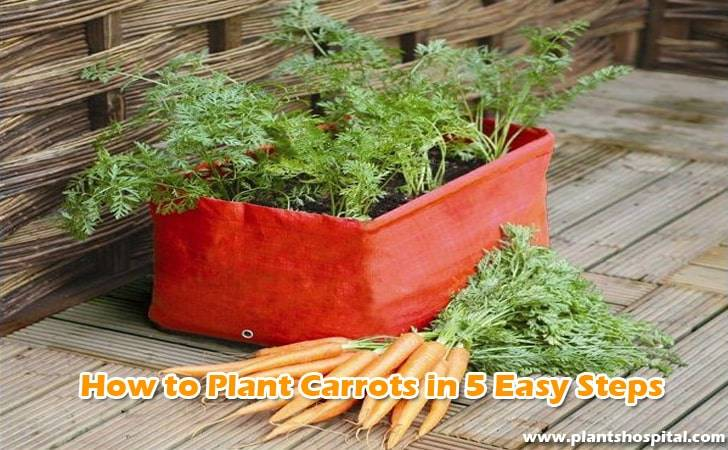How-to-plant-carrots-in-5-Easy-Steps