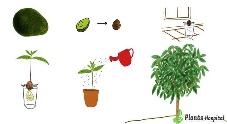 avocado-tree-growing