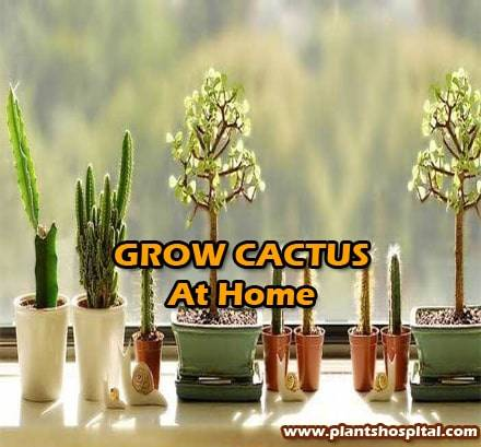 grow-cactus-at-home