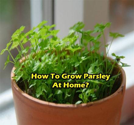 grow-parsley-at-home