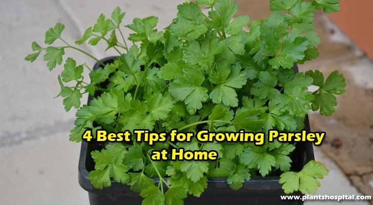 grow-parsley