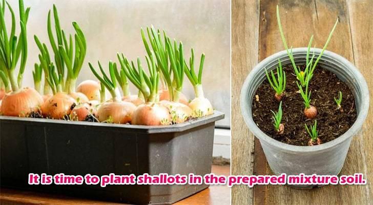 onion-growing-step-2