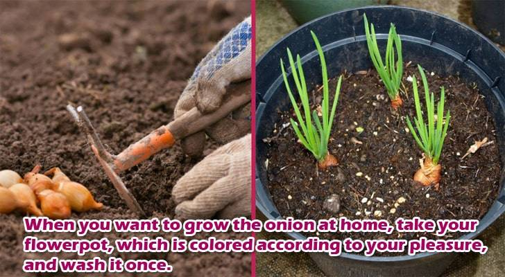 organic-onions-at-home