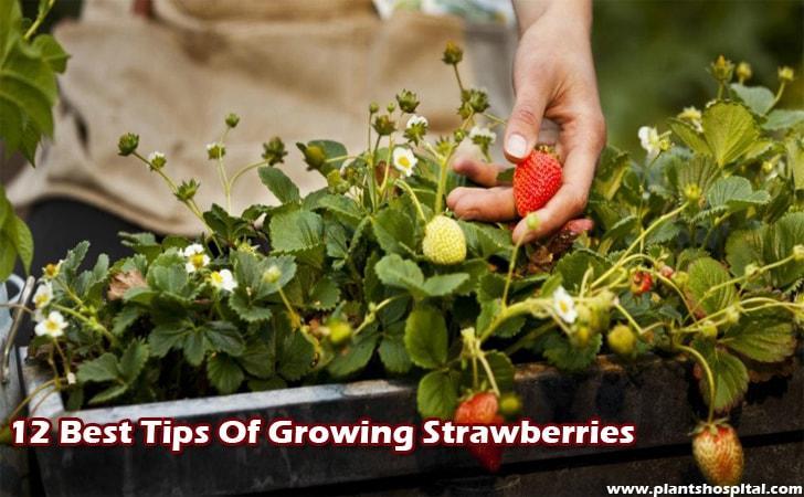 12-Best-Tips-Of-Growing-Strawberries