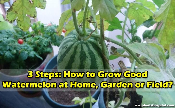 3-steps-how-to-grow-watermelons-at-home