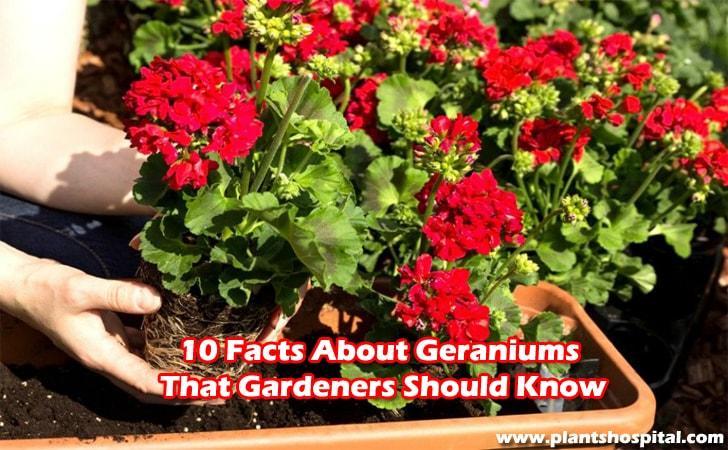 Geranium-care