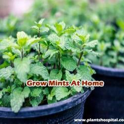 Grow-mints-at-home