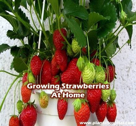 Growing-strawberries