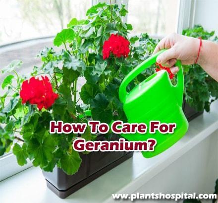 How-to-care-for-geranium-flower