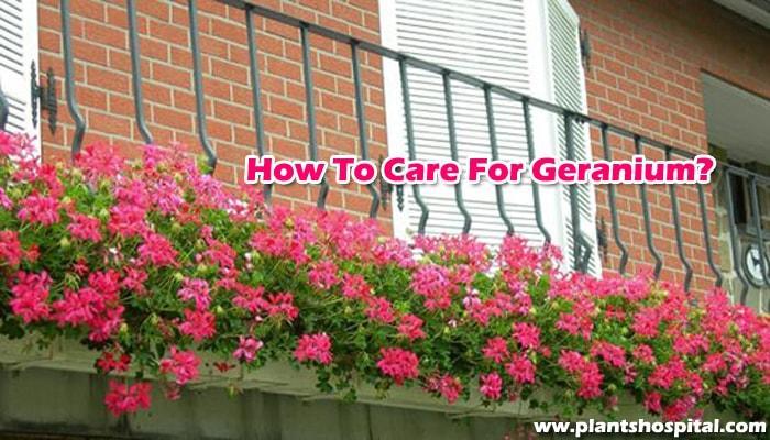 How-to-care-for-geranium