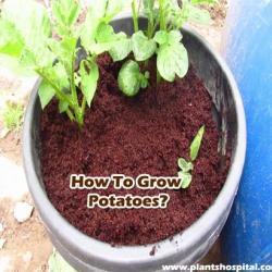 How-to-grow-potatoes