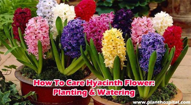 Hyacinth-flower-care