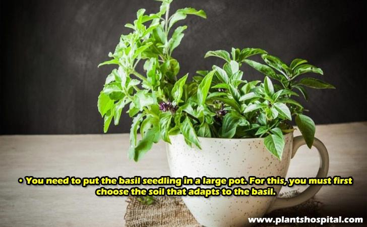 You need to put the basil seedling in a large pot.